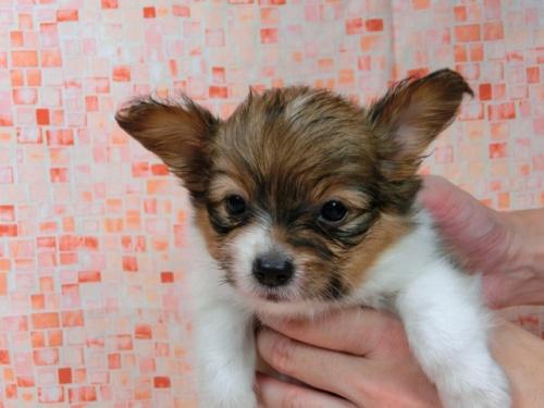 パピヨンの子犬(ID:1244711555)の2枚目の写真/更新日:2017-09-01