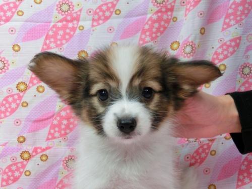 パピヨンの子犬(ID:1244711556)の1枚目の写真/更新日:2017-09-20