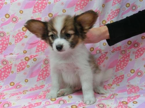 パピヨンの子犬(ID:1244711556)の3枚目の写真/更新日:2017-09-20