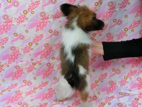 パピヨンの子犬(ID:1244711556)の4枚目の写真/更新日:2017-09-20