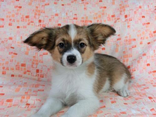 パピヨンの子犬(ID:1244711557)の1枚目の写真/更新日:2017-10-06