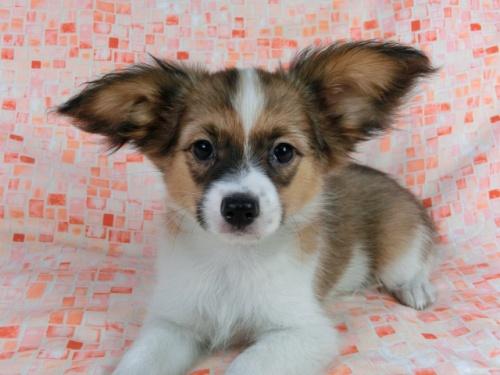 パピヨンの子犬(ID:1244711557)の2枚目の写真/更新日:2017-10-06