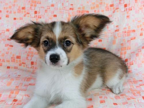 パピヨンの子犬(ID:1244711557)の3枚目の写真/更新日:2017-10-06