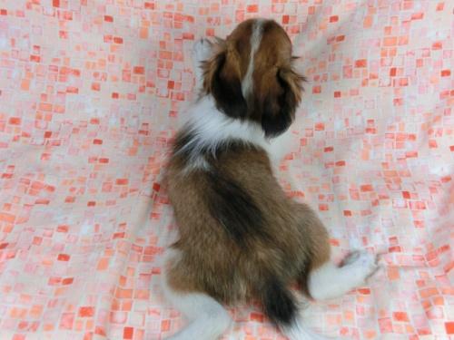 パピヨンの子犬(ID:1244711557)の4枚目の写真/更新日:2017-10-06