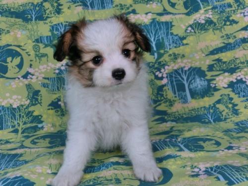 パピヨンの子犬(ID:1244711559)の1枚目の写真/更新日:2017-10-02
