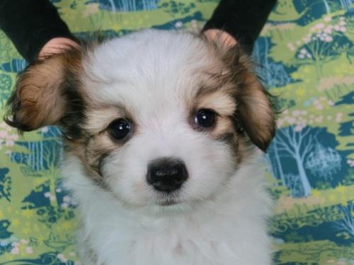 パピヨンの子犬(ID:1244711559)の3枚目の写真/更新日:2017-10-02