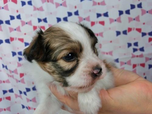 パピヨンの子犬(ID:1244711560)の1枚目の写真/更新日:2017-09-11