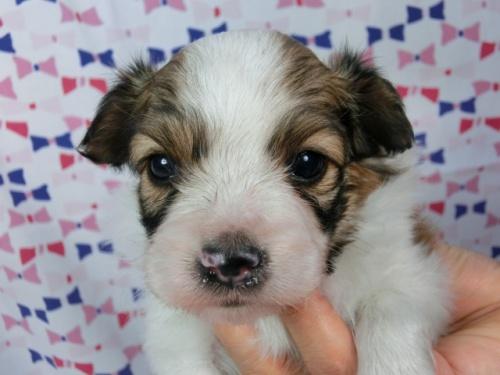 パピヨンの子犬(ID:1244711560)の2枚目の写真/更新日:2017-09-11