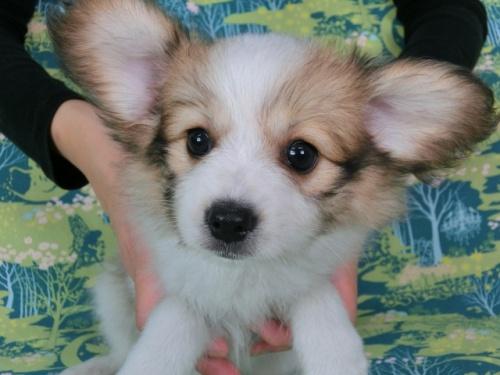パピヨンの子犬(ID:1244711561)の1枚目の写真/更新日:2017-10-02