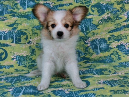 パピヨンの子犬(ID:1244711561)の2枚目の写真/更新日:2017-10-02