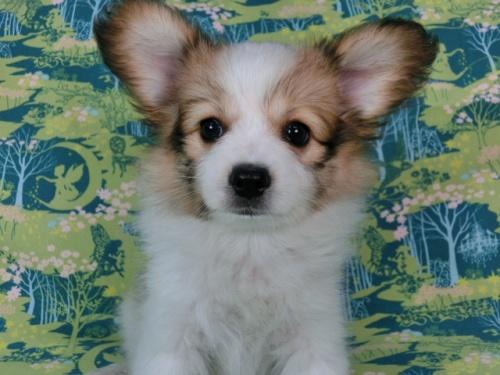 パピヨンの子犬(ID:1244711561)の3枚目の写真/更新日:2017-10-02