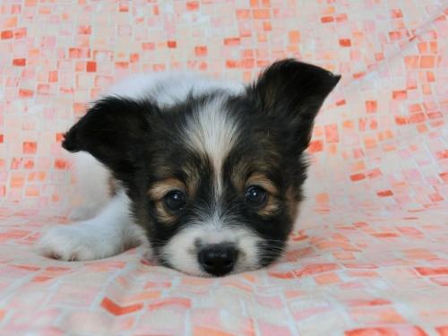 パピヨンの子犬(ID:1244711562)の1枚目の写真/更新日:2017-10-06