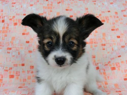 パピヨンの子犬(ID:1244711562)の2枚目の写真/更新日:2017-10-06