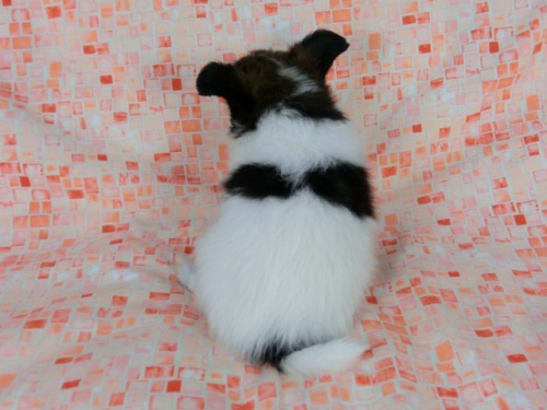 パピヨンの子犬(ID:1244711562)の4枚目の写真/更新日:2017-10-06