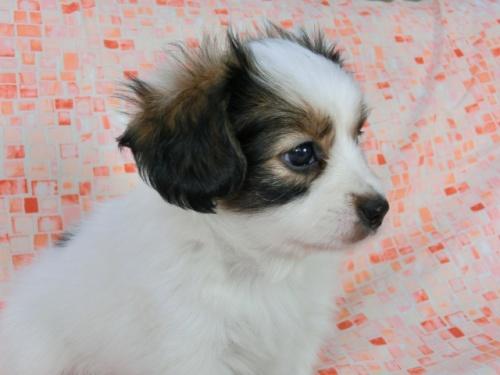 パピヨンの子犬(ID:1244711563)の1枚目の写真/更新日:2017-10-06