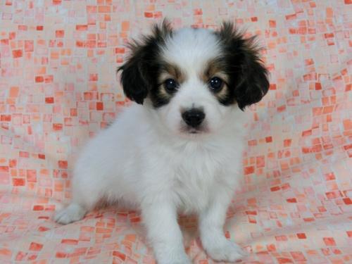 パピヨンの子犬(ID:1244711563)の2枚目の写真/更新日:2017-10-06