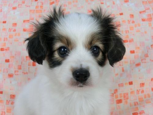 パピヨンの子犬(ID:1244711563)の3枚目の写真/更新日:2017-10-06