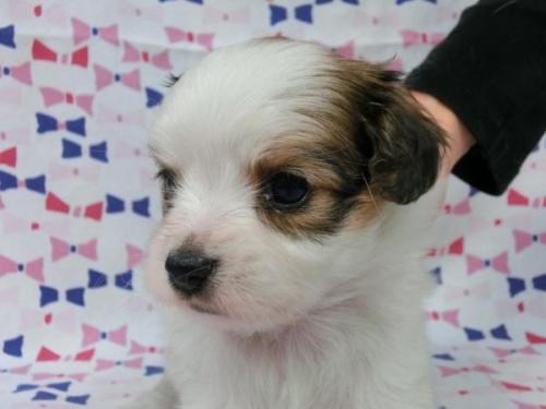 パピヨンの子犬(ID:1244711564)の1枚目の写真/更新日:2017-09-26
