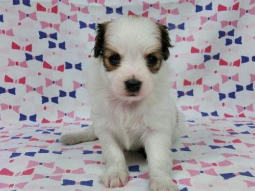 パピヨンの子犬(ID:1244711564)の2枚目の写真/更新日:2017-09-26