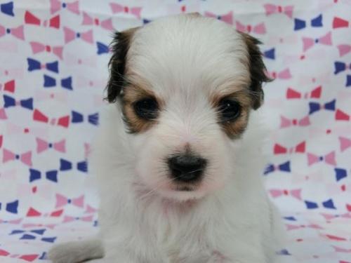 パピヨンの子犬(ID:1244711564)の3枚目の写真/更新日:2017-09-26