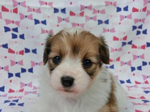 パピヨンの子犬(ID:1244711565)の2枚目の写真/更新日:2017-09-26