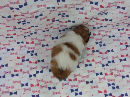パピヨンの子犬(ID:1244711565)の4枚目の写真/更新日:2017-09-26