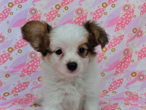 パピヨンの子犬(ID:1244711566)の1枚目の写真/更新日:2017-10-06