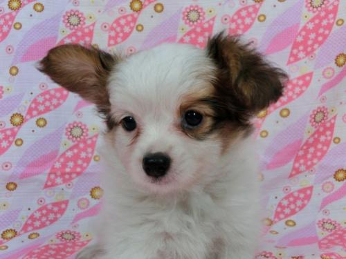 パピヨンの子犬(ID:1244711566)の2枚目の写真/更新日:2017-10-06
