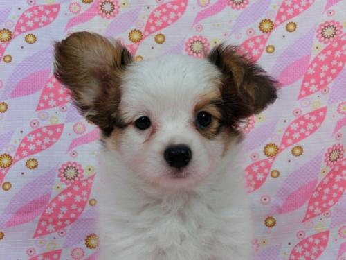 パピヨンの子犬(ID:1244711566)の3枚目の写真/更新日:2017-10-06