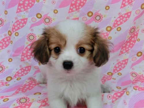 パピヨンの子犬(ID:1244711567)の1枚目の写真/更新日:2017-10-06