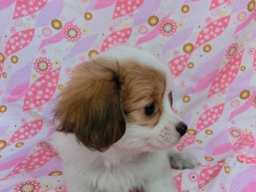 パピヨンの子犬(ID:1244711567)の2枚目の写真/更新日:2017-10-06