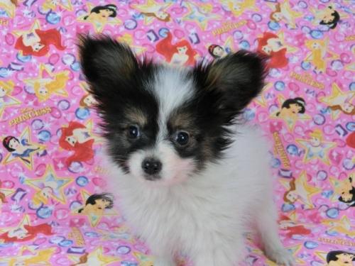 パピヨンの子犬(ID:1244711568)の1枚目の写真/更新日:2017-10-16