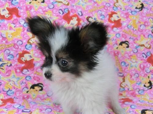 パピヨンの子犬(ID:1244711568)の2枚目の写真/更新日:2017-10-16
