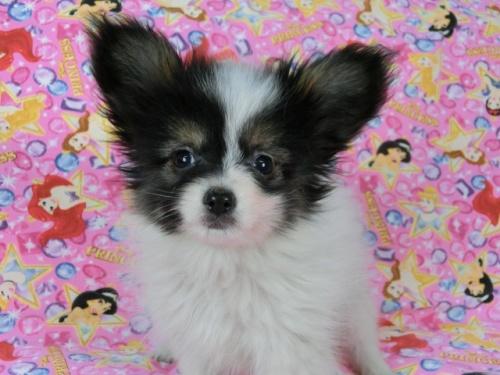 パピヨンの子犬(ID:1244711568)の3枚目の写真/更新日:2017-10-16