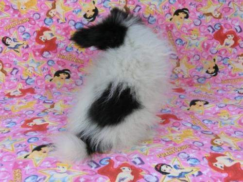 パピヨンの子犬(ID:1244711568)の4枚目の写真/更新日:2017-10-16