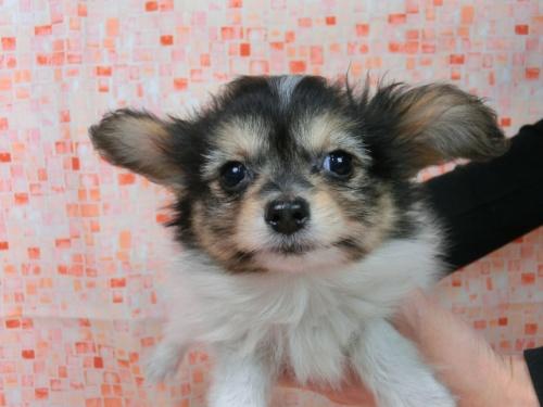 パピヨンの子犬(ID:1244711569)の1枚目の写真/更新日:2017-10-16
