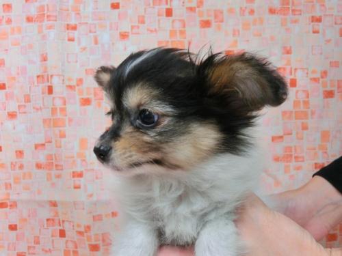 パピヨンの子犬(ID:1244711569)の2枚目の写真/更新日:2017-10-16