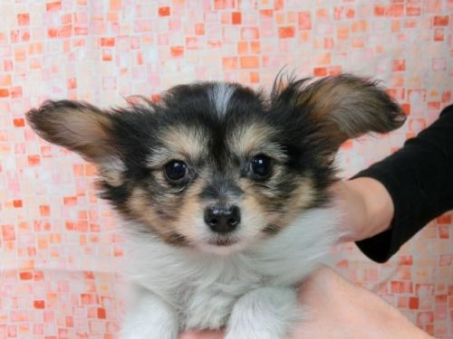 パピヨンの子犬(ID:1244711569)の3枚目の写真/更新日:2017-10-16