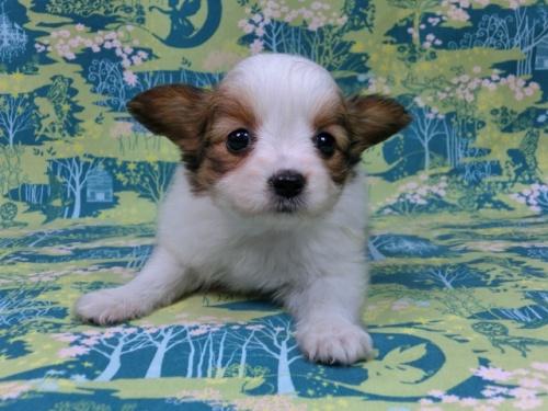 パピヨンの子犬(ID:1244711570)の1枚目の写真/更新日:2017-10-16
