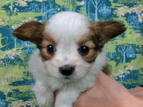 パピヨンの子犬(ID:1244711570)の2枚目の写真/更新日:2017-10-31