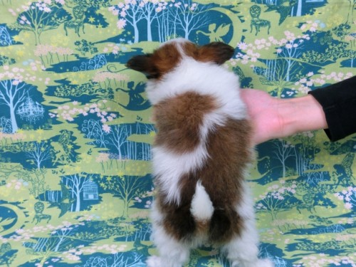 パピヨンの子犬(ID:1244711570)の4枚目の写真/更新日:2017-10-31