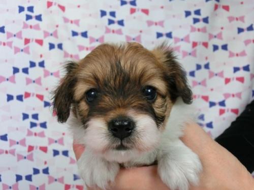 パピヨンの子犬(ID:1244711571)の1枚目の写真/更新日:2017-10-16