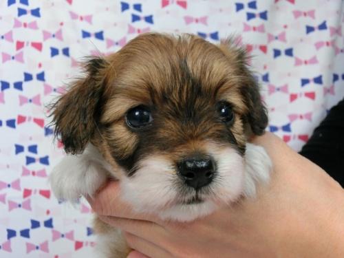 パピヨンの子犬(ID:1244711571)の3枚目の写真/更新日:2017-10-16
