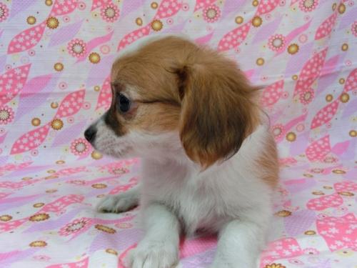 パピヨンの子犬(ID:1244711572)の1枚目の写真/更新日:2017-11-11