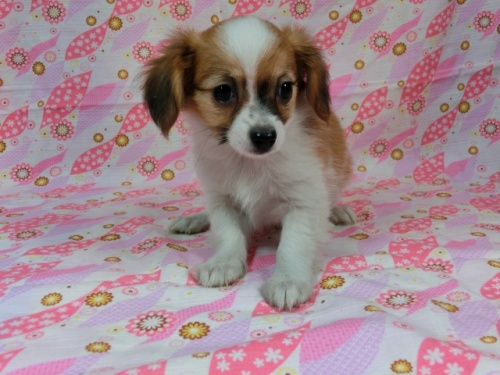 パピヨンの子犬(ID:1244711572)の2枚目の写真/更新日:2017-10-16