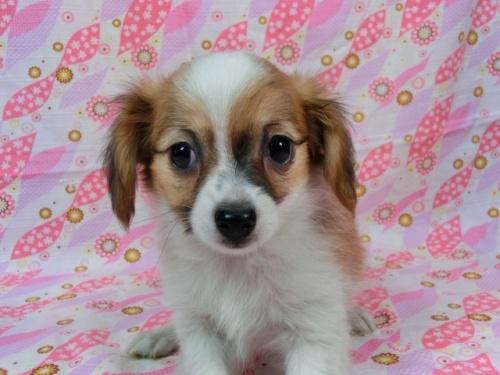 パピヨンの子犬(ID:1244711572)の3枚目の写真/更新日:2017-11-27