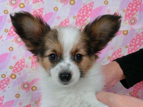 パピヨンの子犬(ID:1244711573)の1枚目の写真/更新日:2017-11-27
