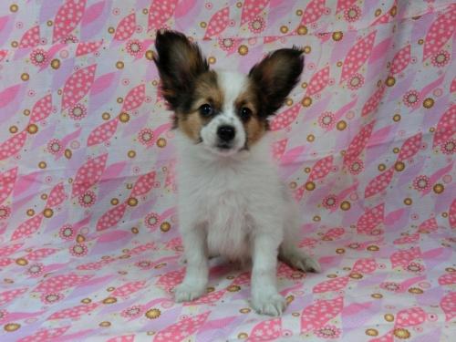 パピヨンの子犬(ID:1244711573)の2枚目の写真/更新日:2017-10-16