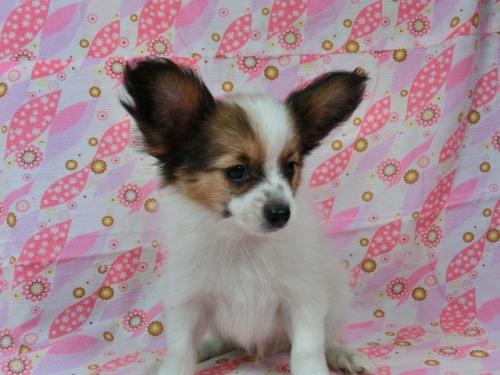 パピヨンの子犬(ID:1244711573)の3枚目の写真/更新日:2017-10-16