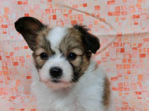 パピヨンの子犬(ID:1244711574)の3枚目の写真/更新日:2017-10-31